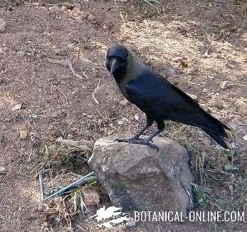 Cuervo indio