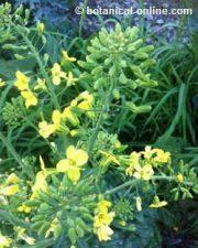 flor amarilla de la col (brassica oleracea)