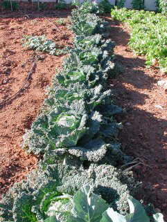 cabbage-cultivation