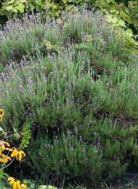 Cultivo de las hierbas - Cultivar lavanda en casa ...