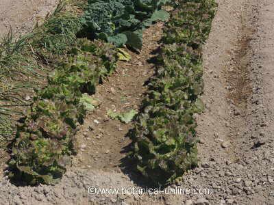 cultivo en suelo limoso
