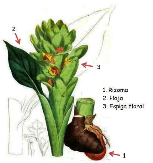 ilustracion de la planta