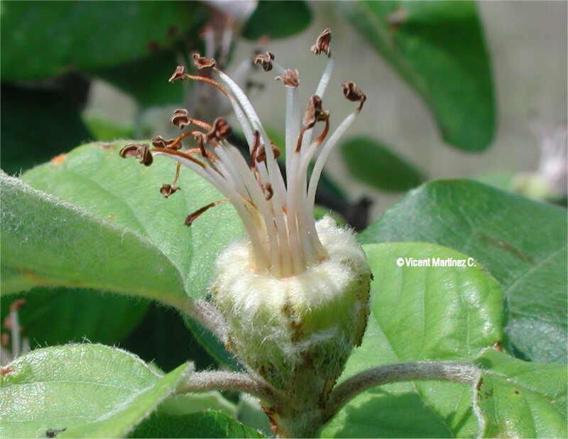 cydonia oblonga partes de la flor