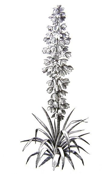 Yucca plant mightylinksfo