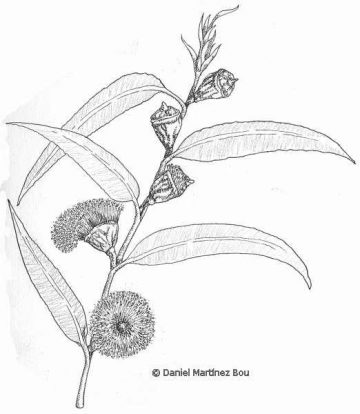 Dibujo de eucalipto