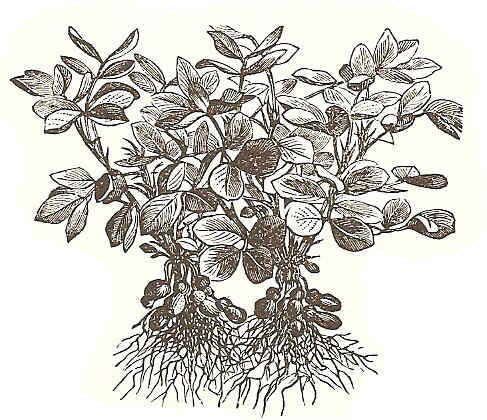 Cacahuetes Botanical Online