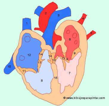Enfermedades del coraz n for Fotos del corazon