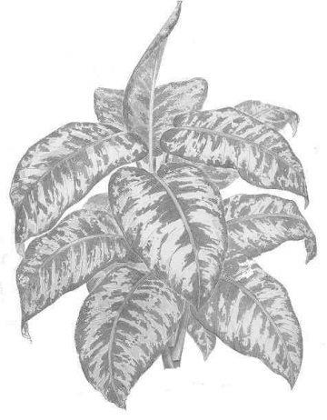 Dibujo de la planta
