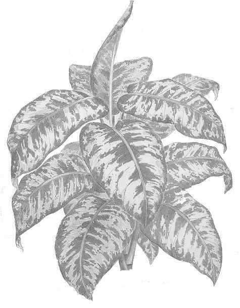 Amoena planta venenosa plantas t for Planta ornamental venenosa dieffenbachia
