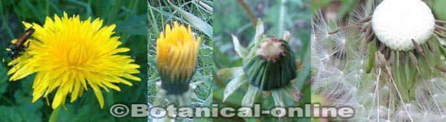 flores y fruto de diente de leon o amargon evolucion a vilano