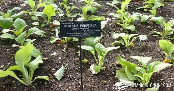 digital planta medicinal