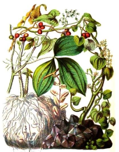 Plantas Dioscorea