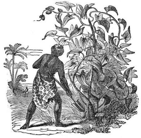 Planta de Ñame