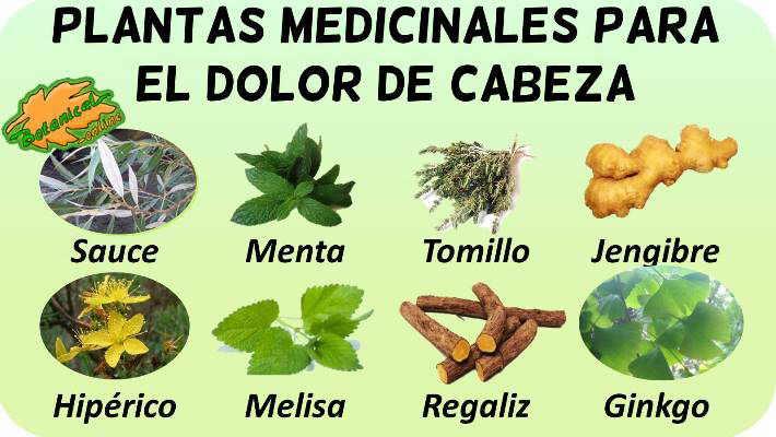 plantas medicinales para el dolor de cabeza o cefalea