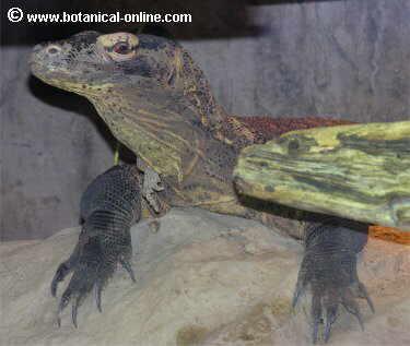dragon Komodo 2