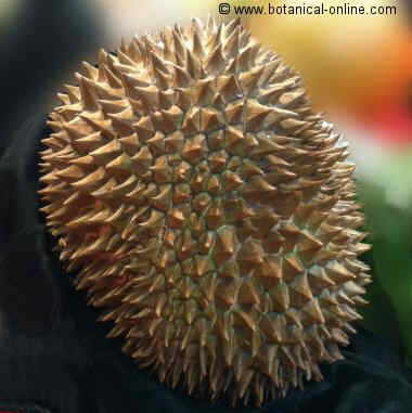 durian fruto