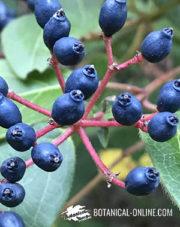 fruto negro toxico