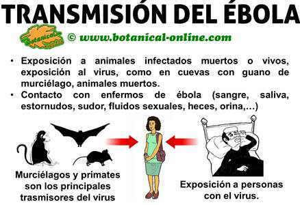 como se contagia el ebola, transmision