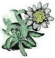 Resultado de imagen de Edelweisse