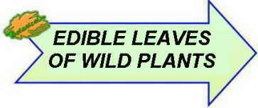 Edible leaves of wild plants