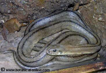 Culebra de escalera (Elaphe scalaris)