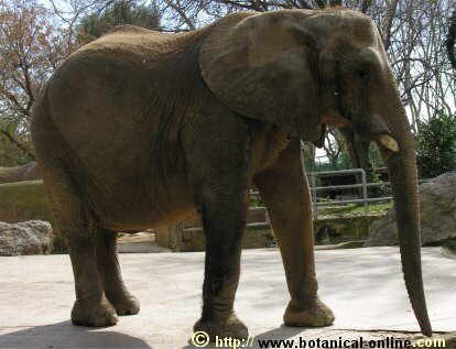 Características Del Elefante Africano Botanical Online