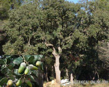 encina planta partes arbol frutos bellotas hojas