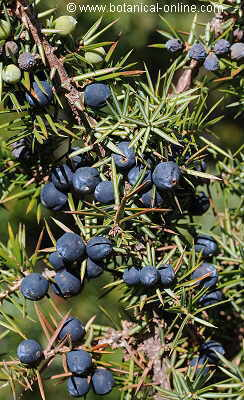 Juniper with ripe fruits and leaves