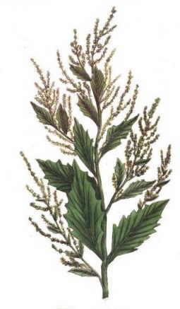 epazote para eliminar insectos de las plantas