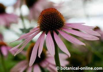 Flor de la equinacea