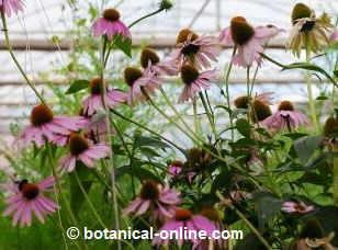 planta de equinacea con flores