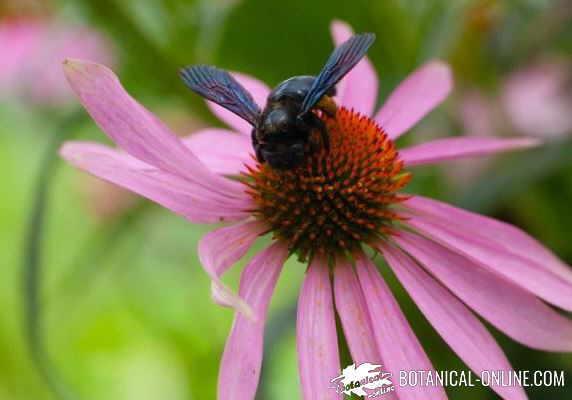 equinacea abeja azul de la madera