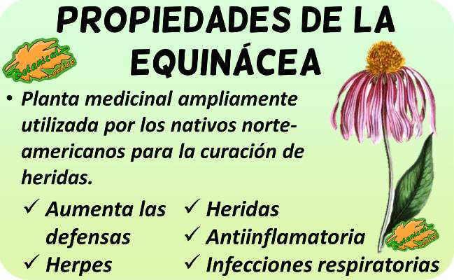 propiedades medicinales de la equinacea, planta medicinal