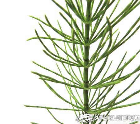 Que planta es buena para adelgazar