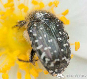 escarabajo del sudario