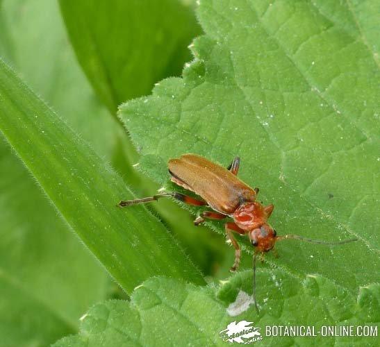 Escarabajo acuatico reproduccion asexual en