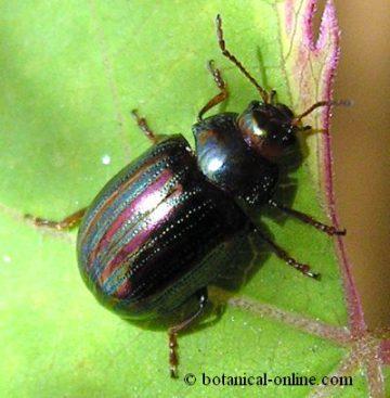 escarabajo romero