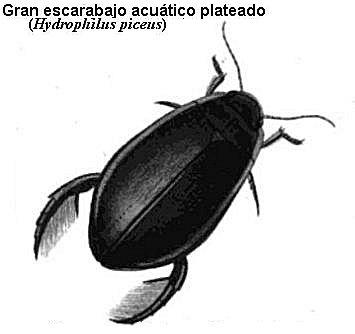Escarabajo acuático