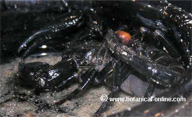 Escorpión exótico