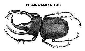 escarabajo atlas