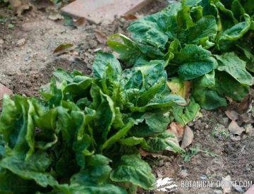 espinacas cultivo