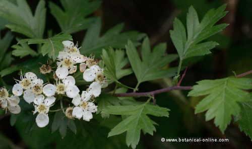 hojas y flores de espino blanco