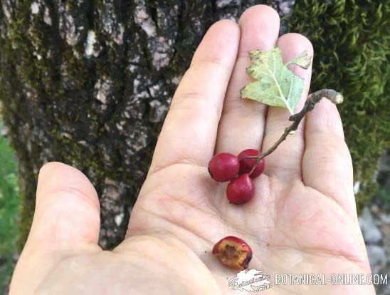 espino blanco frutos