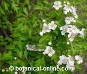 espino blanco majuelo