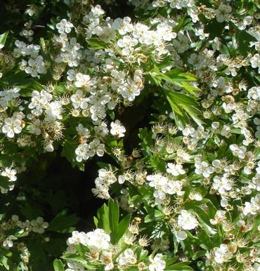 white hawthorn flowers