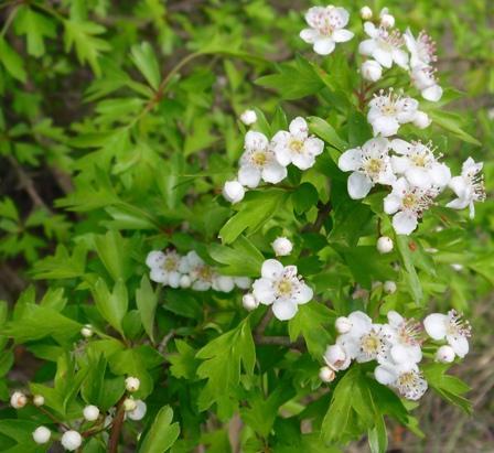Flores de espino albar