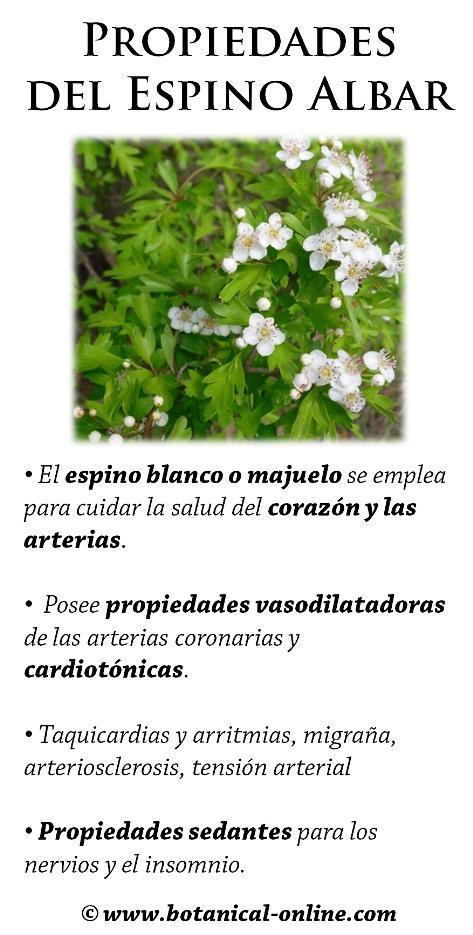 Beneficios y Propiedades Curativas del Espino Blanco - YouTube