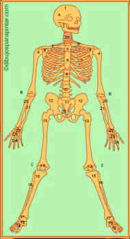 huesos del esqueleto humano