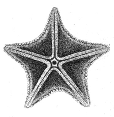 Caractersticas de las estrellas de mar