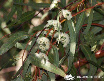 Flores del Eucalyptus redunca var. melanopholia